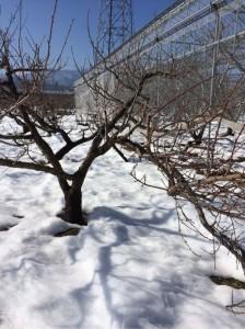 大雪の山梨 我が家の農業被害と公的対策