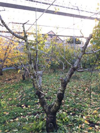 農作業ログ日記 桜桃の木を切る20161208
