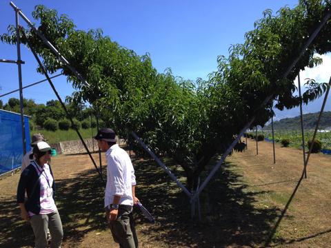 桃の仕立ての方法色々